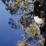 ハワイアンコアの木
